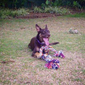 Just n Motion • Dog days of Summer - The Australian Kelpie